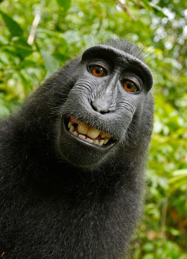 selfie-monkey-self-portrait-macaca-nigra-50582